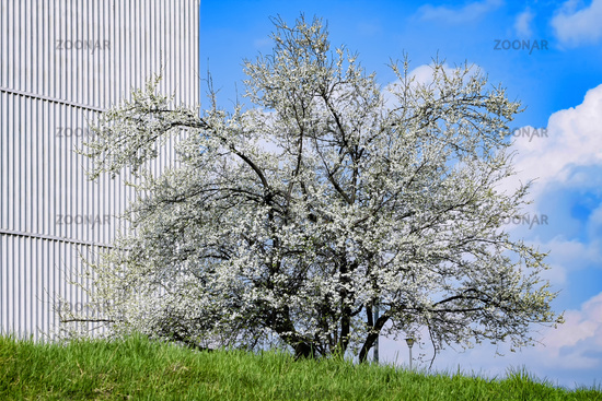 Blossoming tree and blue sky