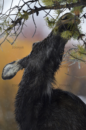 hungry... Moose *Alces alces*