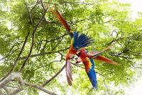 Pair of scarlet macaws, Ara macao or Arakanga