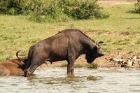 Wild Buffalo rearing up