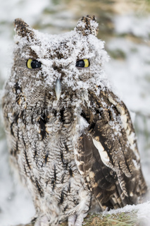 Western Screech Owl In The Snow