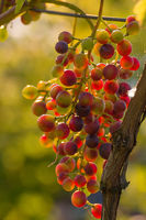 A vine with red grapes hangs on a vine