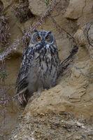 owls eyes... Eurasian Eagle Owl *Bubo bubo*