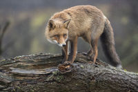 watching attentively... Red Fox *Vulpes vulpes*