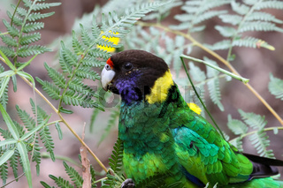 Close up of a Port lincoln parrot, Gloucester National Park, Western Australia