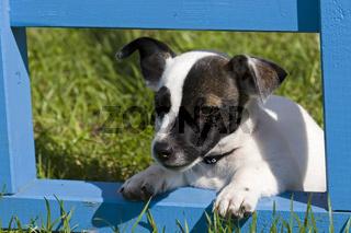 Jack Russel Terrier Welpe