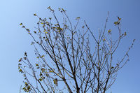 Cherry tree with dried leaves at the beginning of August