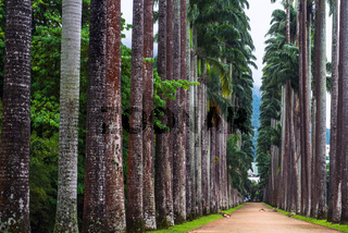The Palm alley in The Botanical Garden in Rio de Janeiro, Brazil