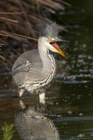 Young grey heron in the water 3