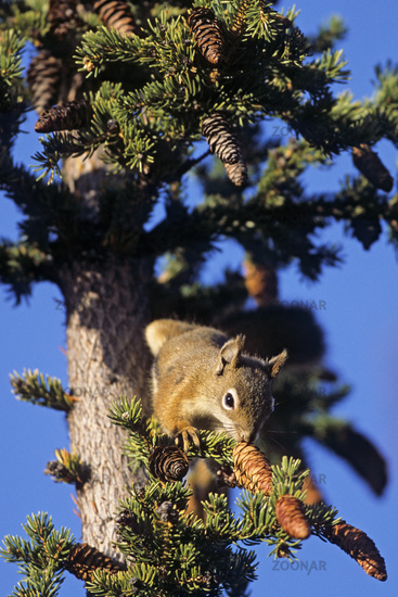 American Red Squirrel eat a variety of mushroom species, including some that are deadly to humans