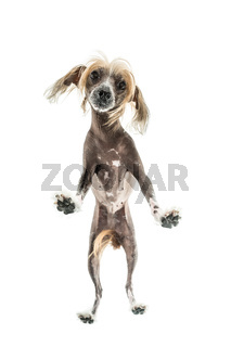 Chinese crested dog in studio