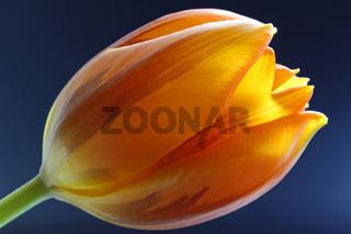 Tulpe, bläulicher Hintergrund