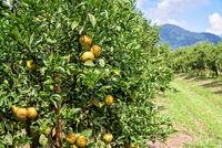 Orange orchard in Thailand