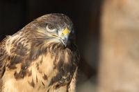 Mongolian buzzard