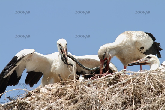 Ciconia ciconia - white stork feeding chicks at nest with a grass snake