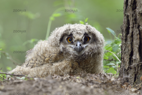 young chick in the woods left its nest... Eurasian Eagle Owl *Bubo bubo*
