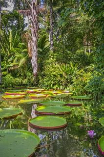 Giant Waterlily Victoria Amazonica Belem Brazil