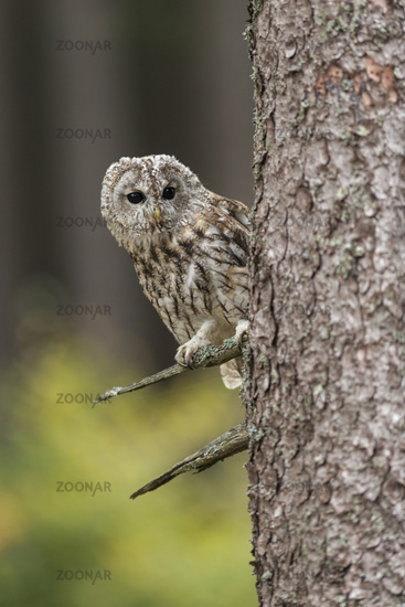 watching around the corner... Tawny Owl *Strix aluco*#