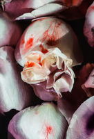 Petals of white rose flowers in water with blood. Floral Art Background
