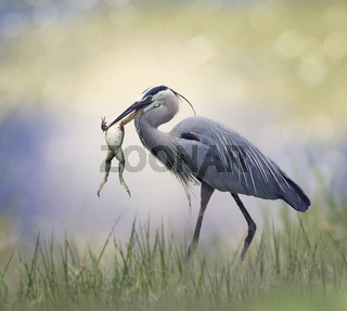 Great Blue Heron with a frog