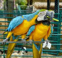 Ara parrot is eating a asparagus