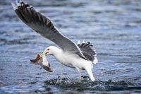 Common european gull eat fish skin