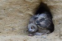 hungry... Eurasian Eagle Owl *Bubo bubo*