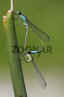 Kleinlibelle, Dragonfly
