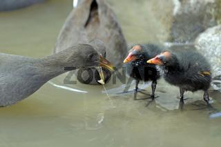 Moorhuhn, Gallinula tenebrosa,füttert Junges , Queensland, Australien