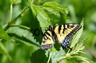 Tiger Swallowtail (Papilio glaucus)
