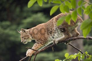 erstaunlich... Eurasischer Luchs *Lynx lynx*