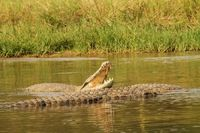 Crocodile with open mouth in the water