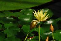 Gelbe Seerose umrankt von Blütenknospen