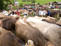 Cow Market Germany