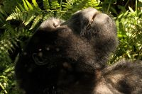Mountain Gorilla in the sun - Portrait