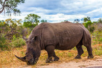 Huge rhino peacefully nibbling the grass
