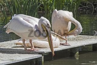 Drei rosa Pelikane