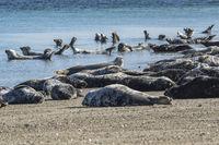 Colony of grey seals