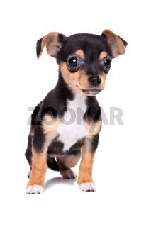 short haired chihuahua puppy