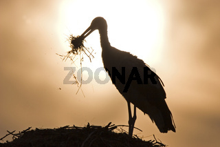 Weissstorch bei Sonnenaufgang (Ciconia ciconia)