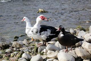 Warzenenten, Wart duck, Cairina moschata,