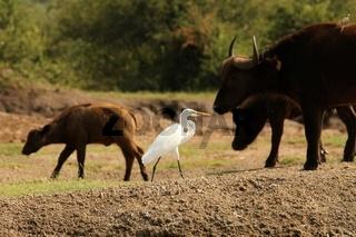 White Egret on a walk
