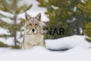 Coyote in Snow Storm. Yellowtone National Park, Wyoming.