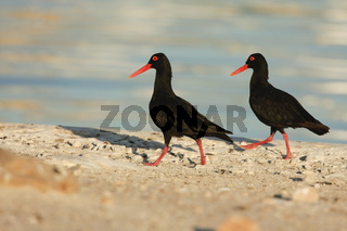 Black Oystercatcher - Austernfischer - South Africa