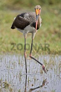 Sattelstorch (Ephippiorhynchus senegalensis), Moremi National Park, Moremi Wildlife Reserve, Okavango Delta, Botswana, Afrika, Saddle-billed Stork, Africa