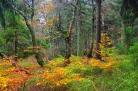Hofelbusch Wald im Herbst - Dvorsky les forest in Giant  Mountains in autumn, Bohemia