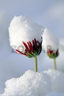 schneebedeckte Margerite im Gegenlicht
