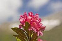 Alpenrosenblüte im Gebirge
