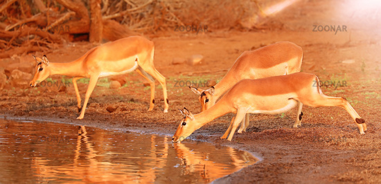 drinking Impalas are afraid of crocodiles, Kruger NP, South Africa