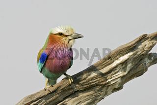 Gabelracke, Gabelrake, Gruenscheitelracke oder Gabelschwanzracke Chobe-Nationalpark, Botsuana, Afrika, Lilac-breasted Roller, Chobe National Park, Botswana, Africa